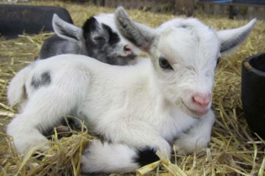 goatbaby.jpg