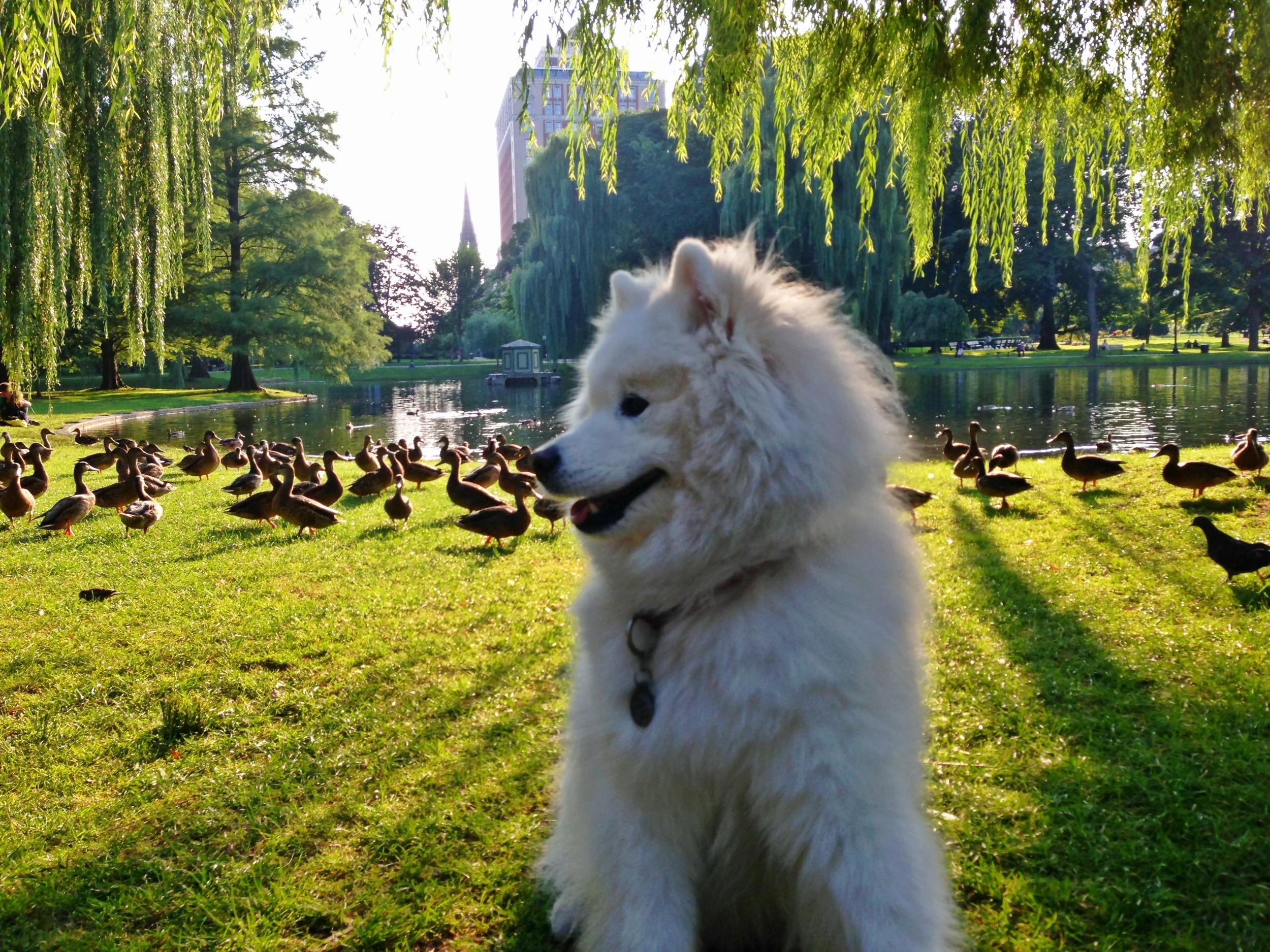 Swan Lagoon, Boston Public Garden