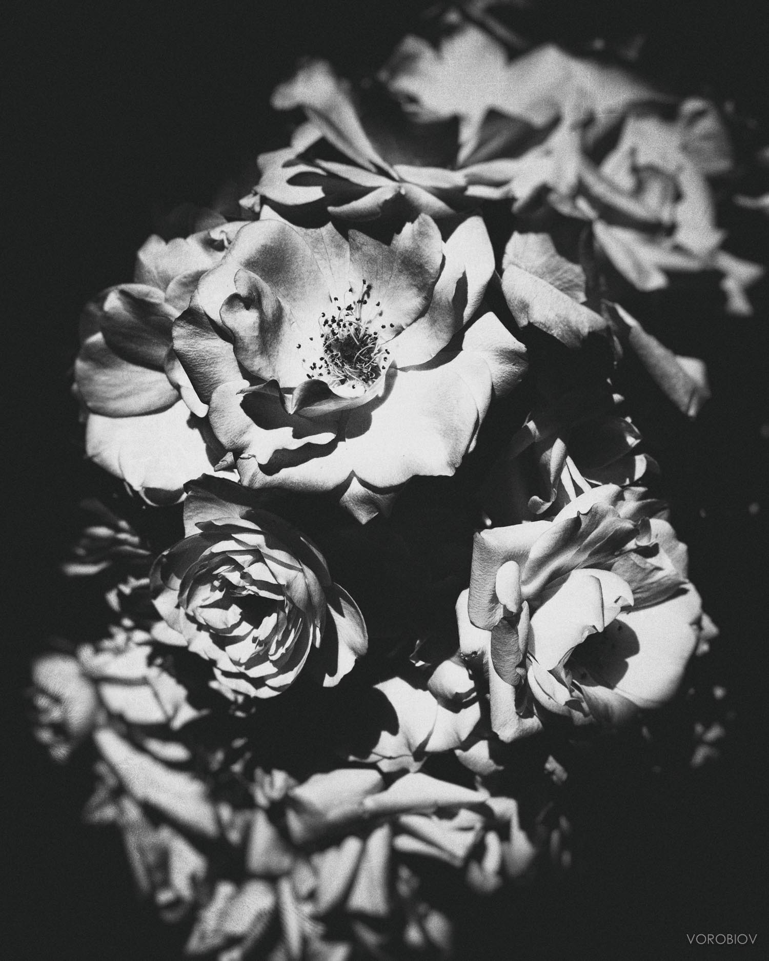 roses by greg vorobiov-.jpg