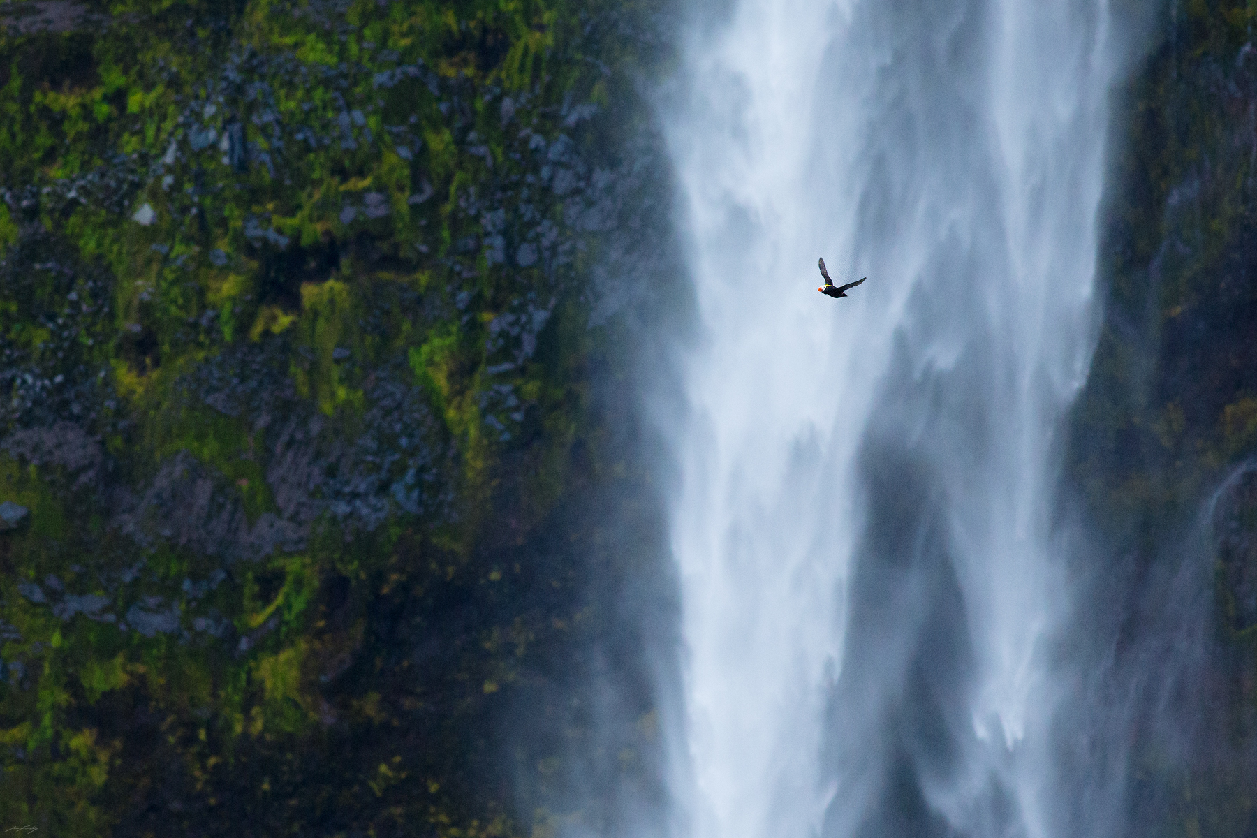 A Tufted Puffin in flight. Beyond, a large waterfall plunges down the steep coastal cliffs of Amlia Island.