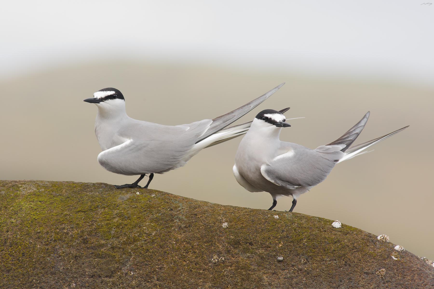 Aleutian Terns