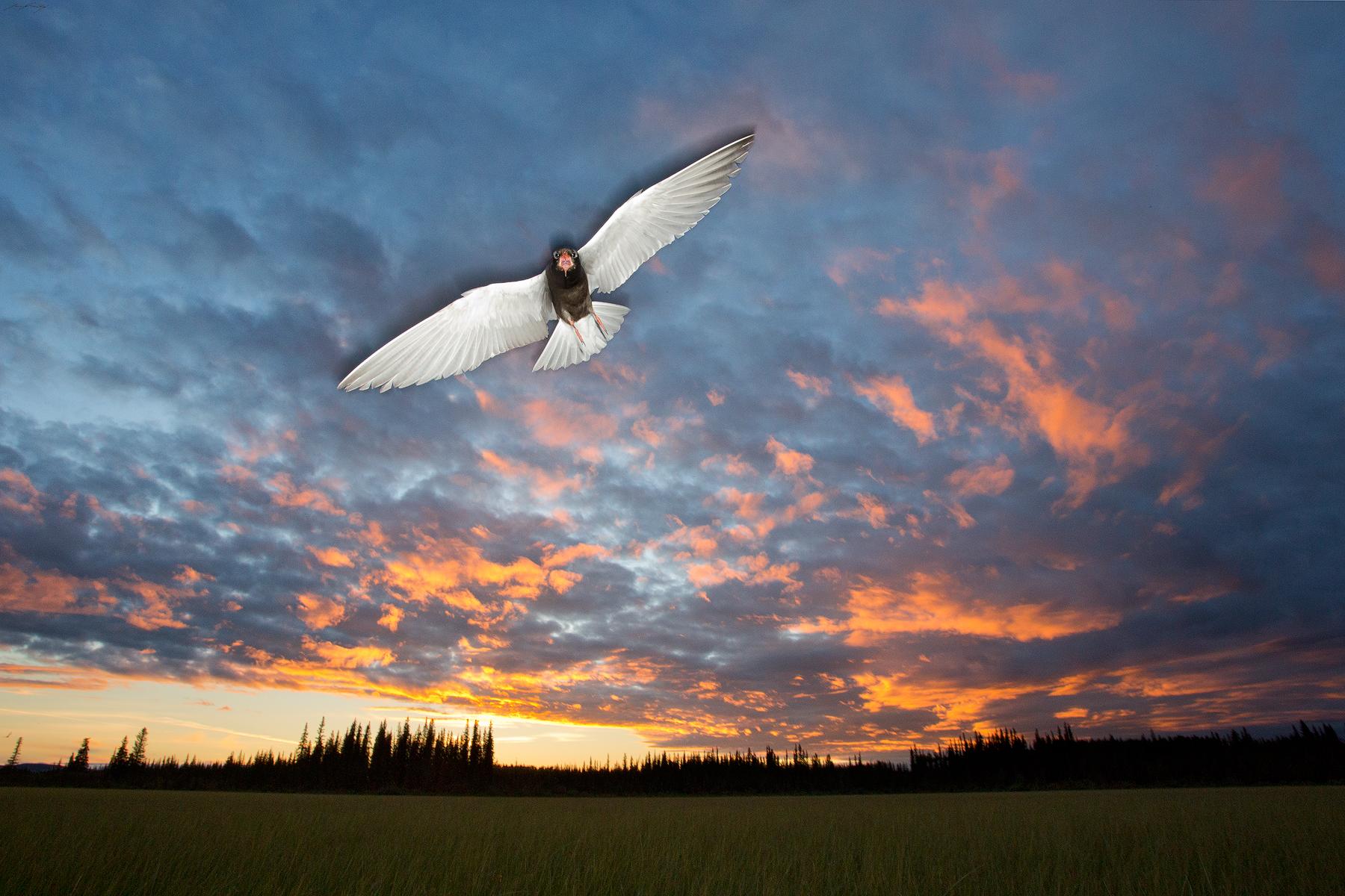 Black Tern, British Columbia, Canada