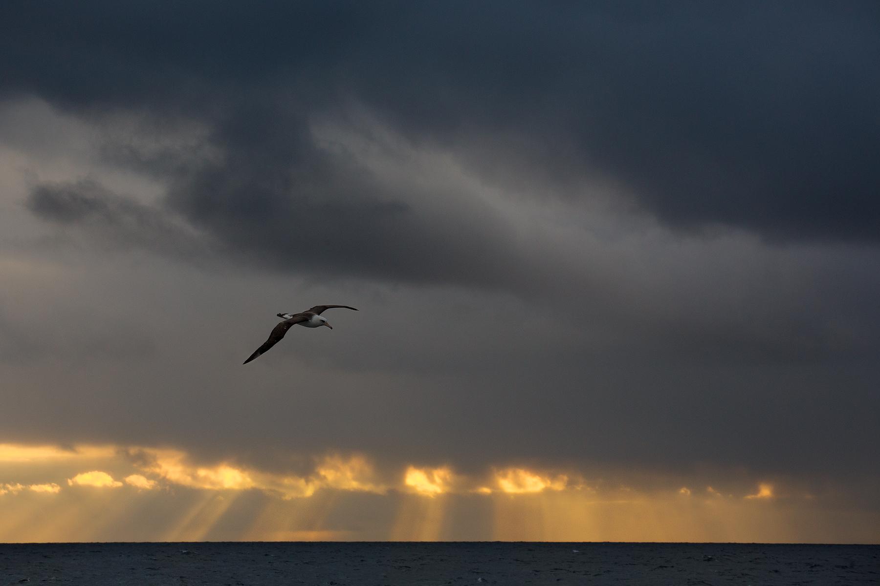 Laysan Albatross, Bering Sea, USA