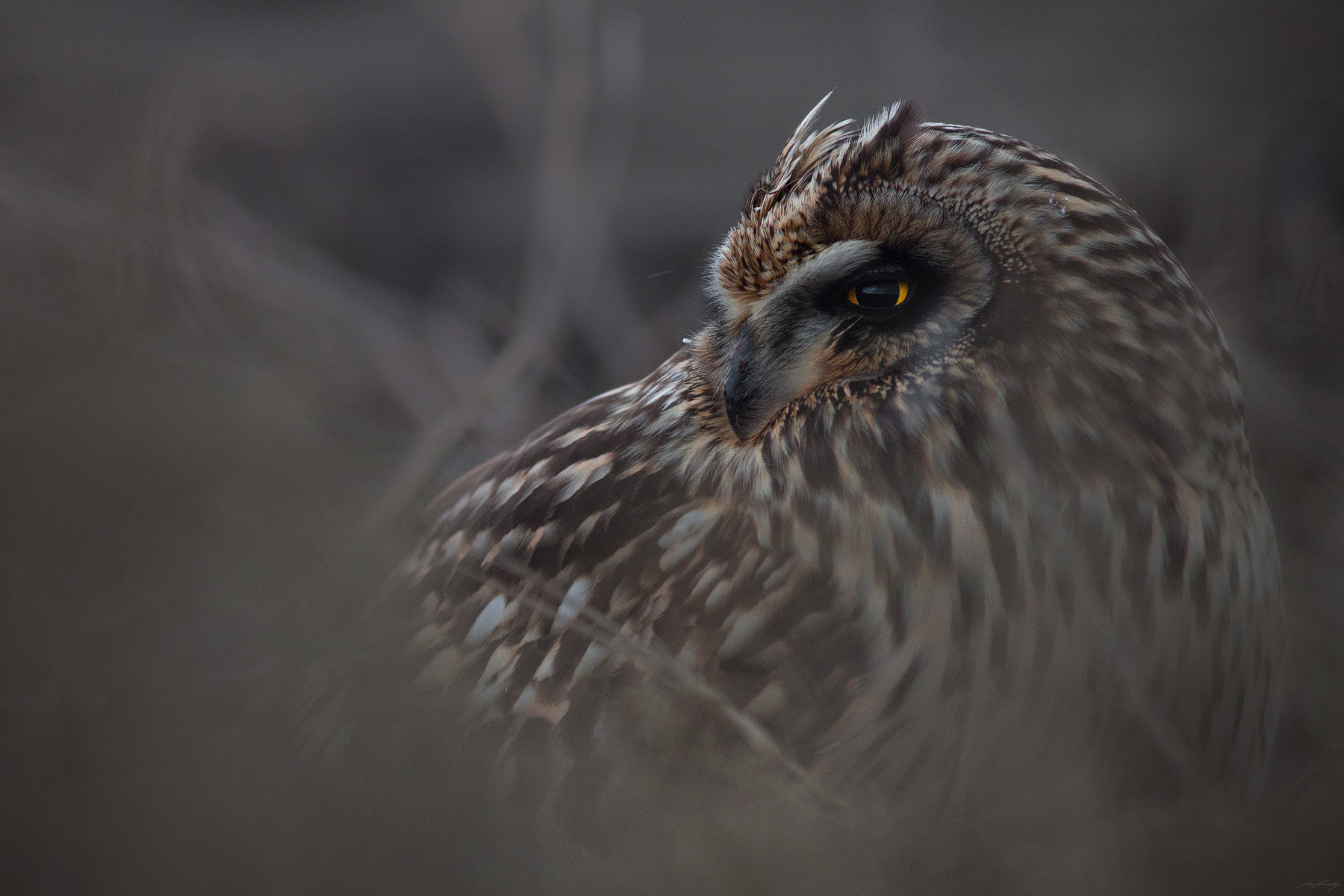 Short-eared Owl, British Columbia, Canada