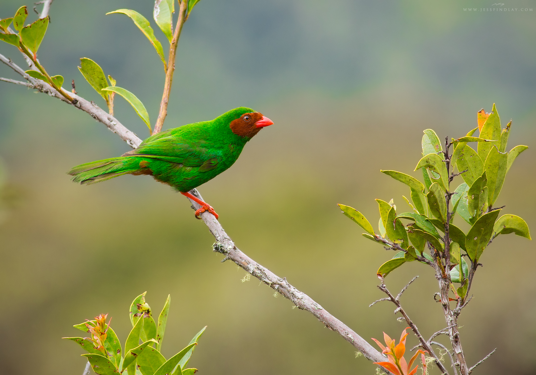 A Grass Green Tanager poses momentarily.