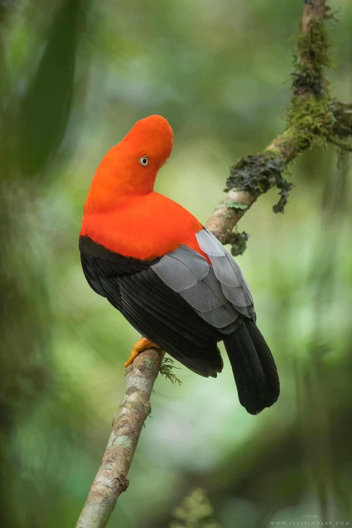 A male Andean Cock-of-the-Rock perches in the cloudforest.