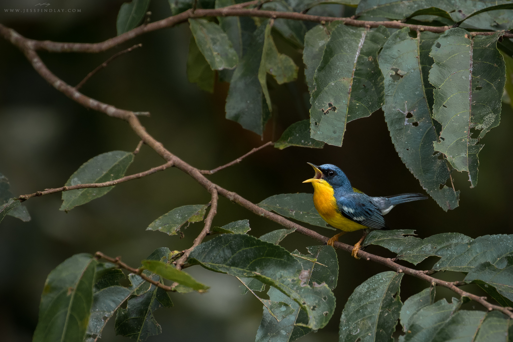 A tiny, vibrant Tropical Parula sings out emphatically from the forest.