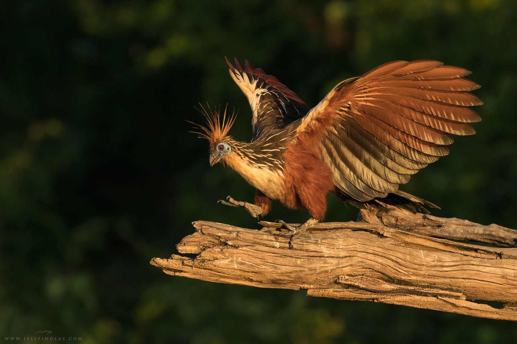 A Hoatzin struts along a fallen tree in evening light.