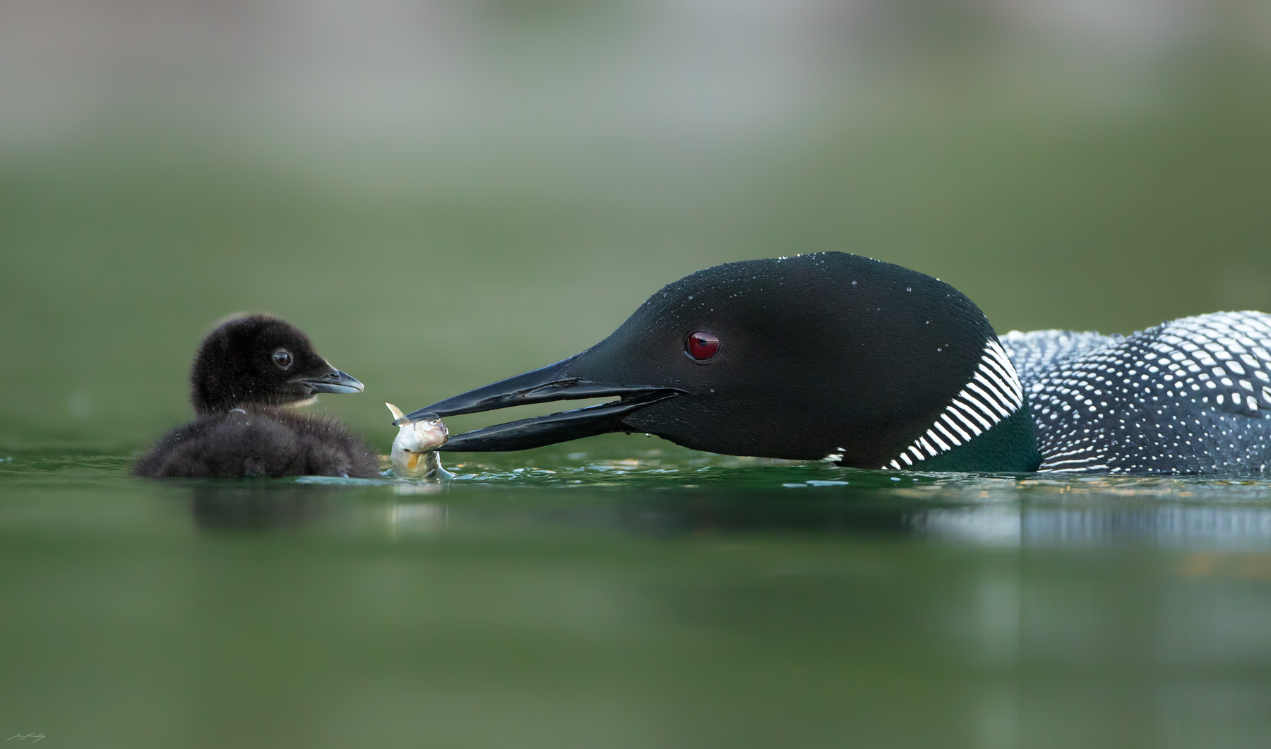 A Common Loon feeds its chick a Rainbow Trout fry on a lake in the Cariboo Region of British Columbia.
