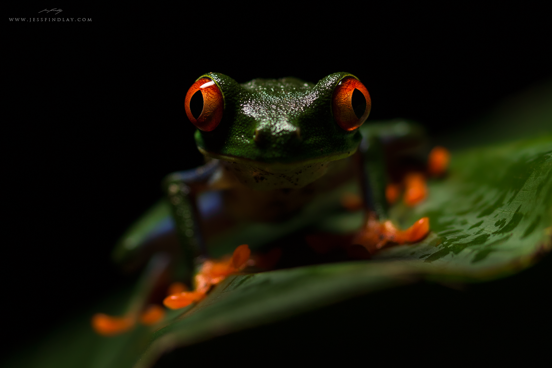 A Red-eyed Tree Frog's massive eyes and feet stand out in the dark of night in Costa Rica's Caribbean lowland rainforest.