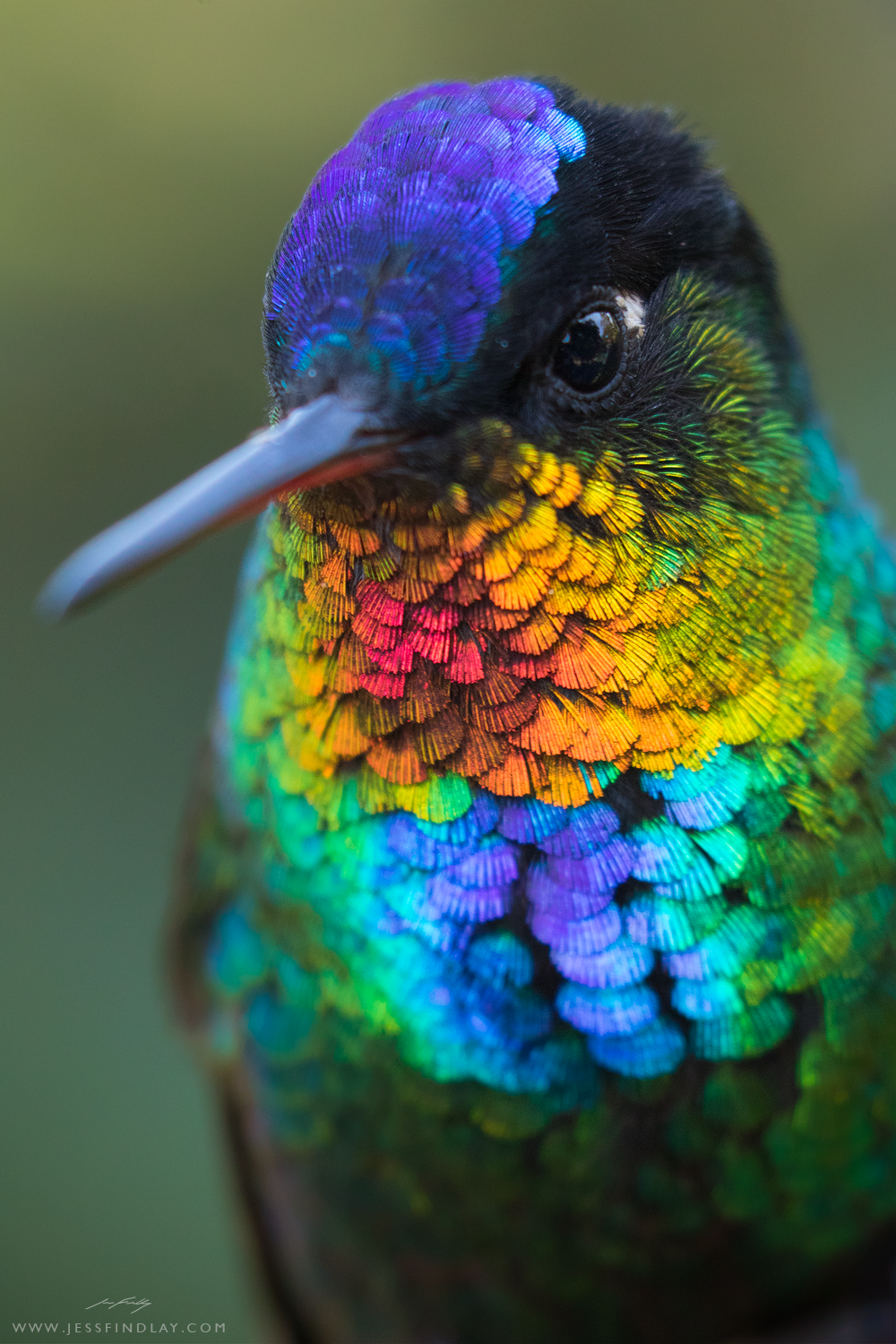 The dazzling iridescent plumage of a Fiery-throated Hummingbird on full display. Photographed in the Talamanca Mountains of Costa Rica.