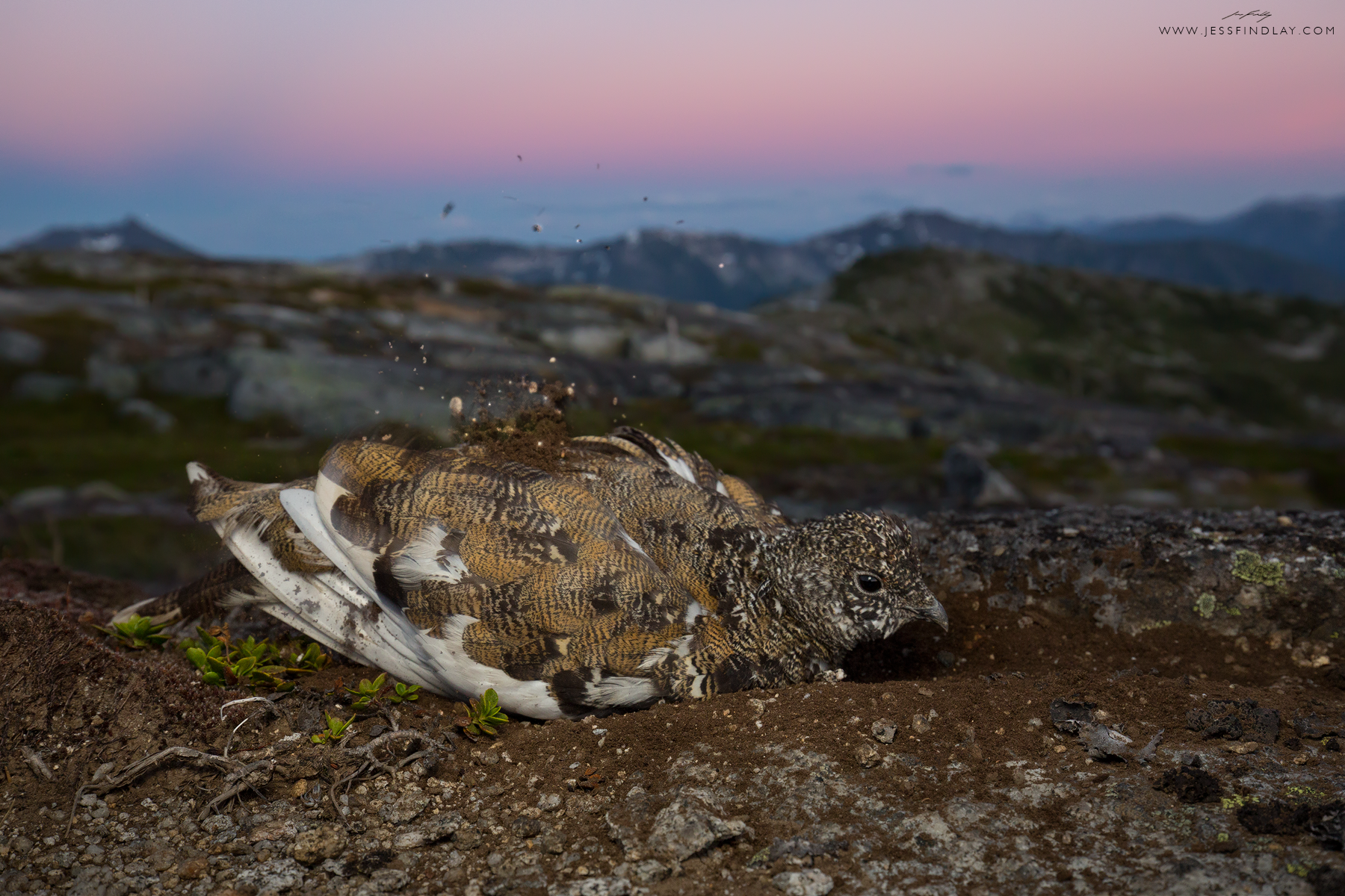 As day turns to night atop a remote peak in the Cascade Mountains of British Columbia, Canada, a female White-tailed Ptarmigan dust bathes.