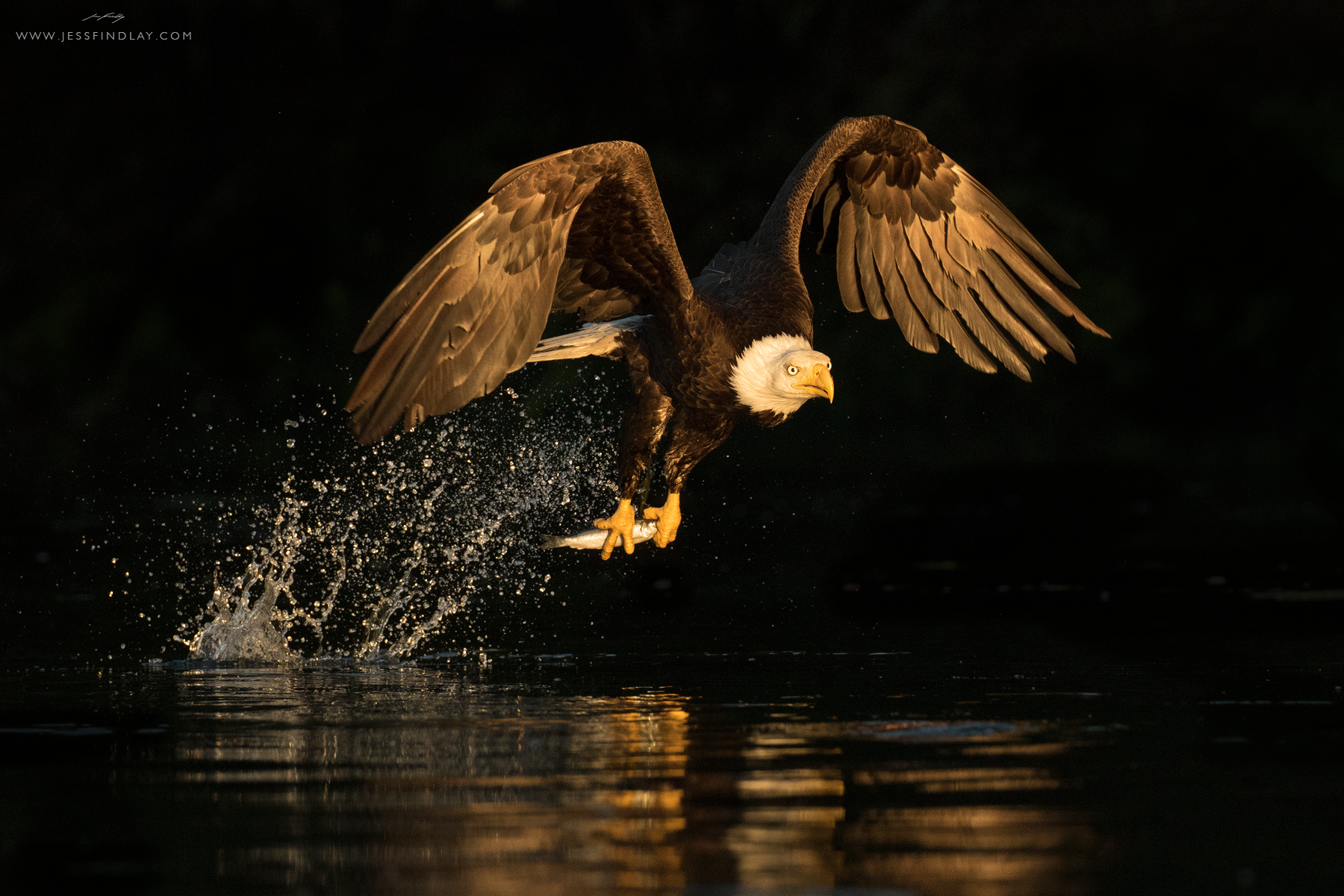 At last light, a Bald Eagle snatches a Pacific Herring off the calm surface of a deeply-shaded cove. Vancouver Island, British Columbia, Canada.