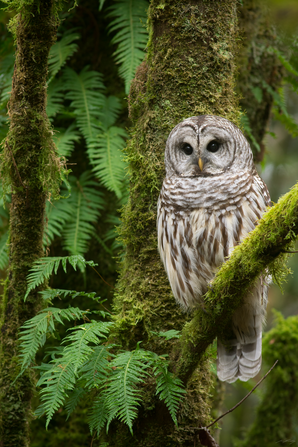 A Barred Owl perched amongst moss and licorice ferns in the temperate rainforest near Vancouver, British Columbia, Canada.