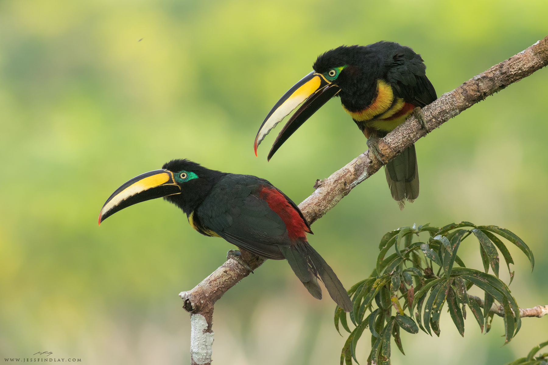 A pair of Many-banded Aracari perched high in the canopy of a giant kapok tree, deep in the Ecuadorian Amazon.