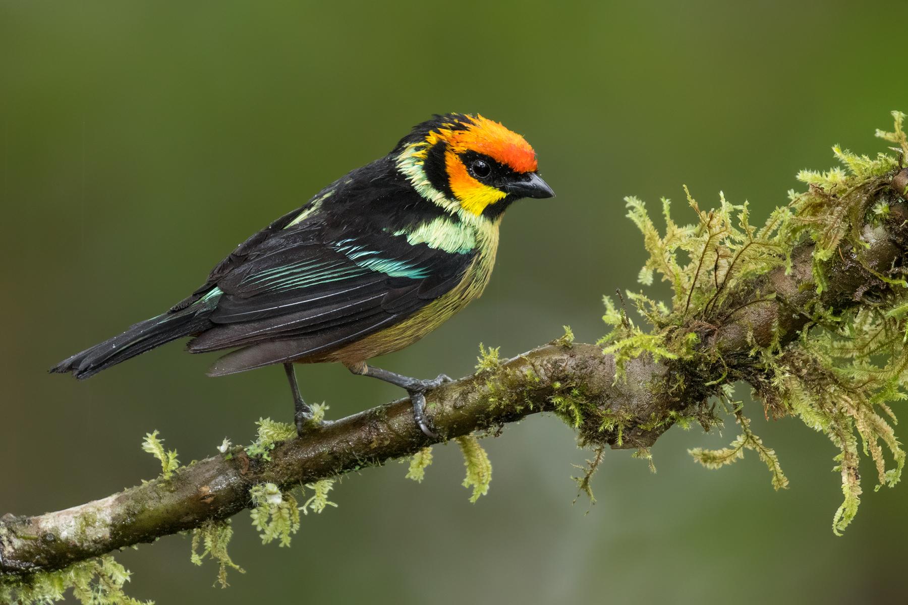 Flame-faced Tanager, Ecuador