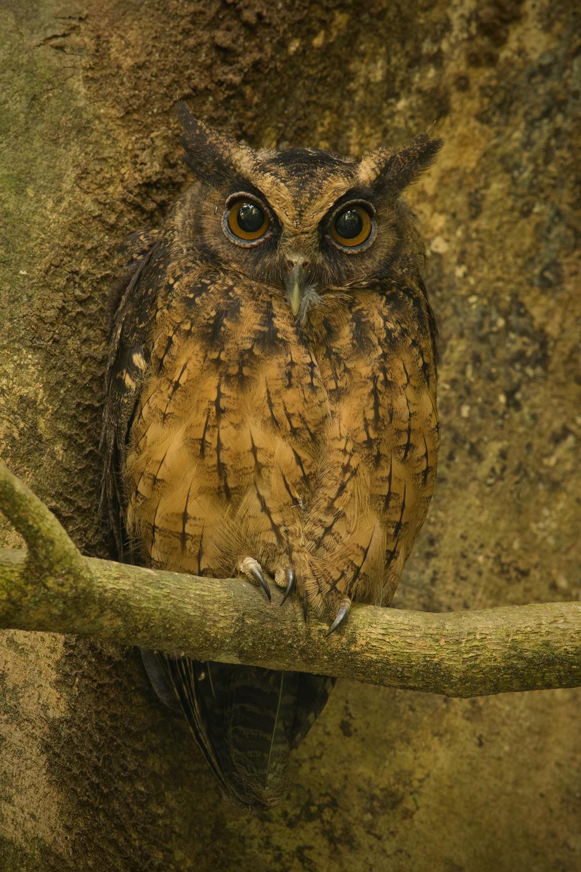 Tawny-bellied Screech-Owl, Ecuador