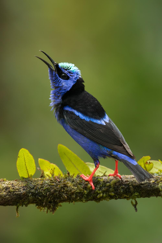 Red-legged Honeycreeper, Costa Rica