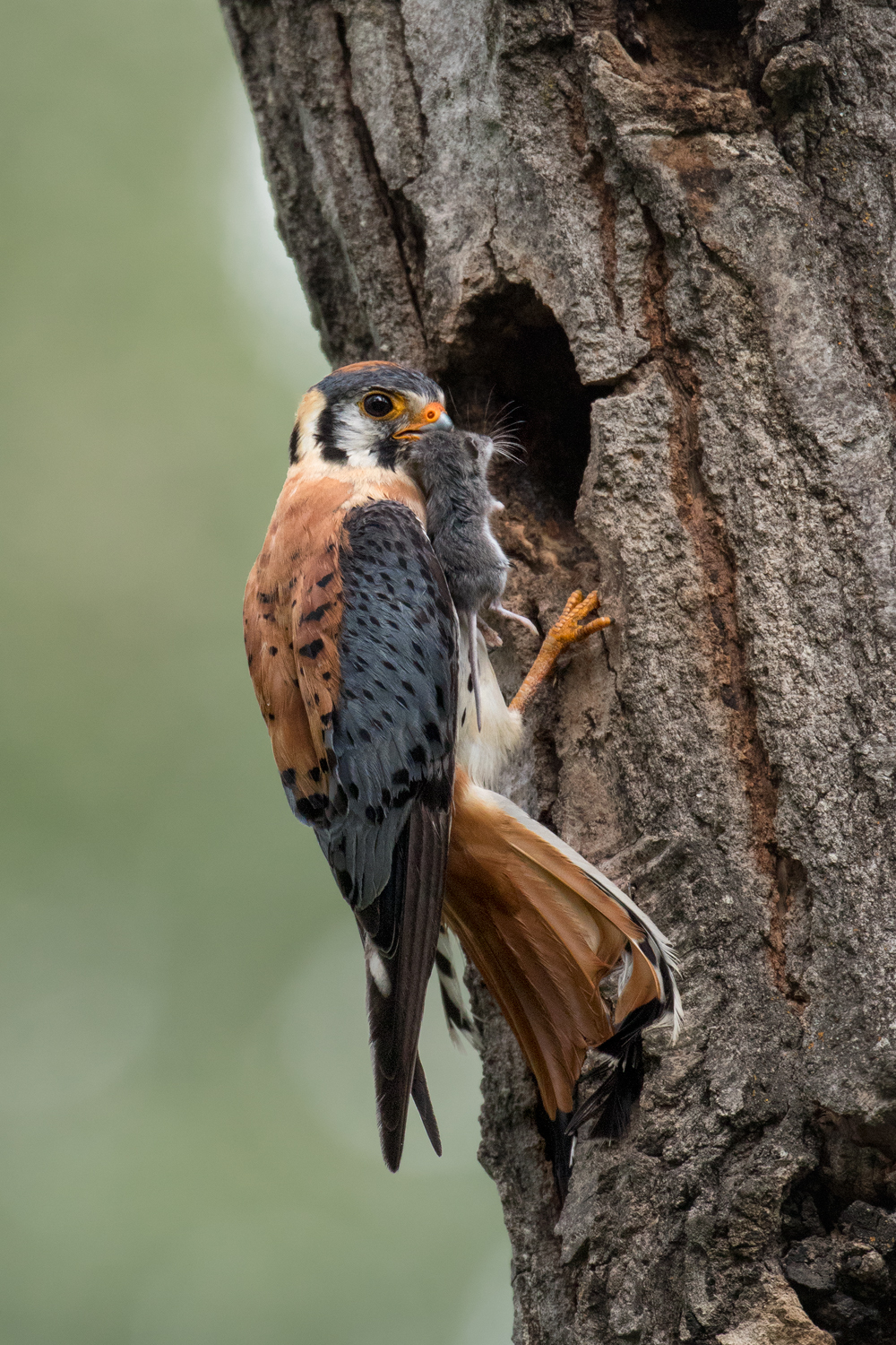 American Kestrel, Thompson Region