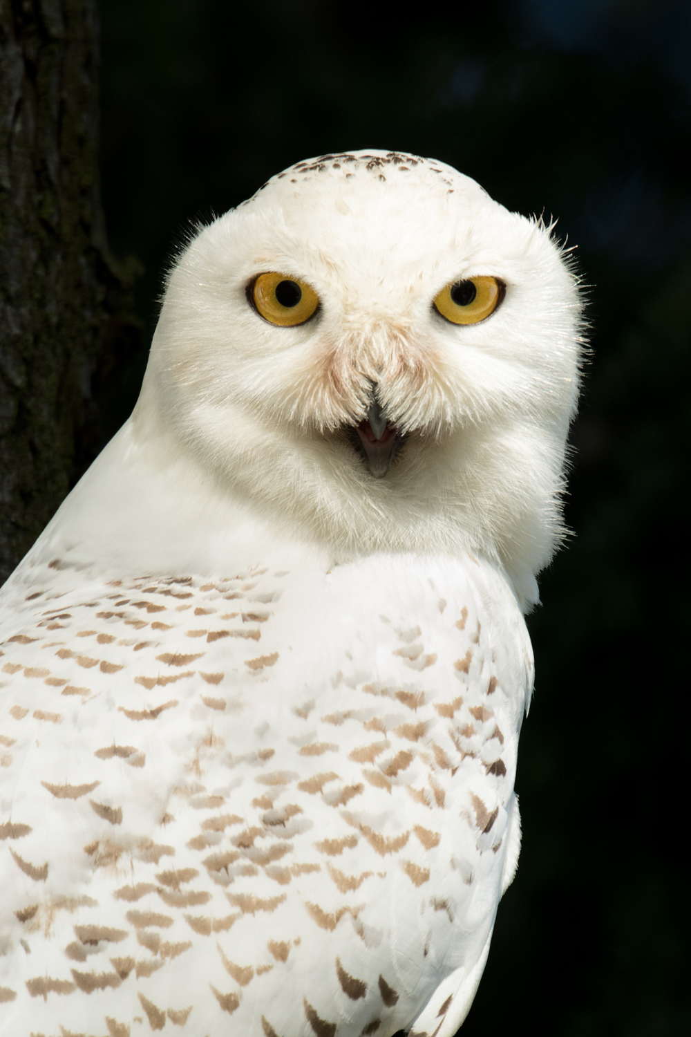 Snowy Owl, South Coast