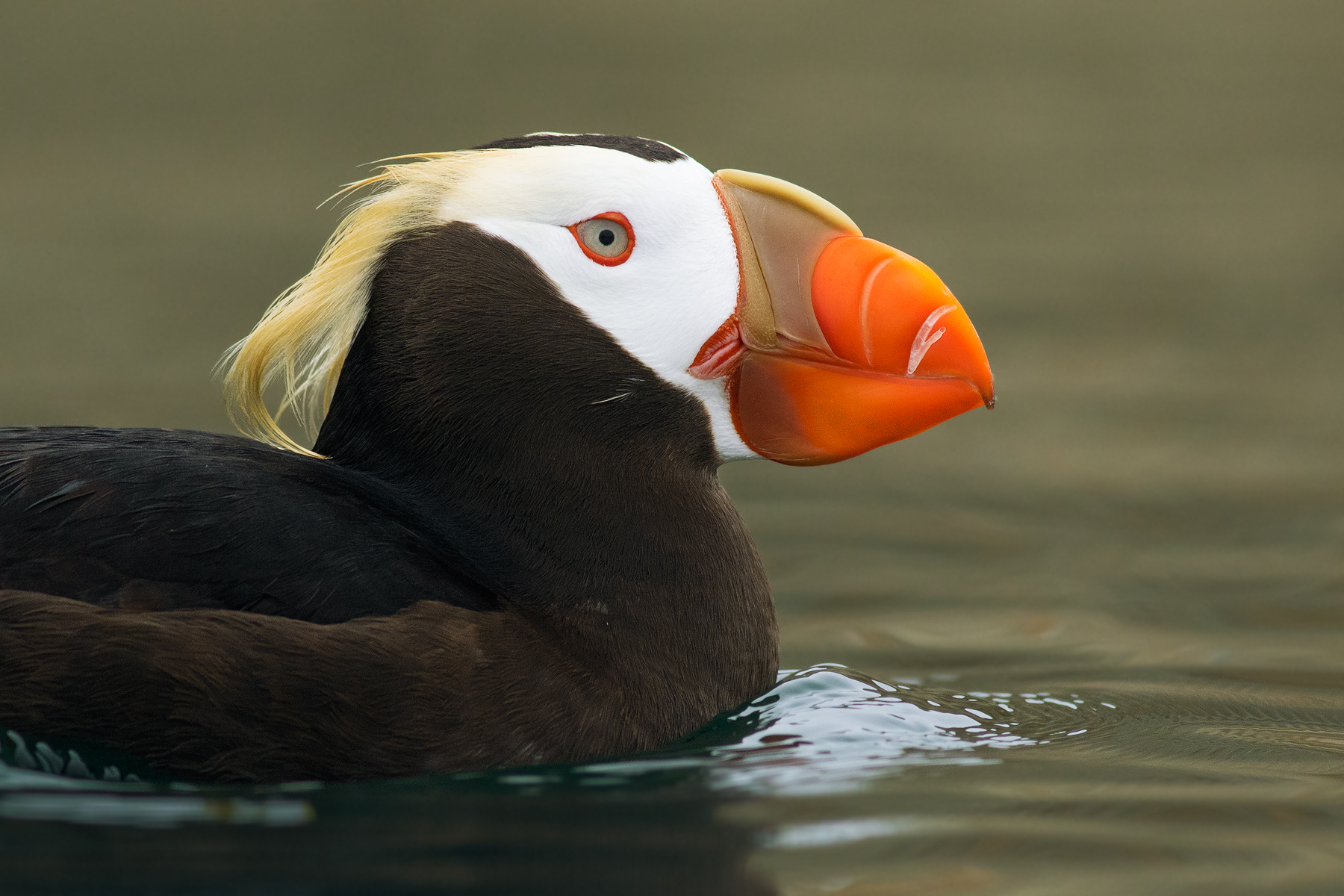 Tufted Puffin, Strait of Juan de Fuca