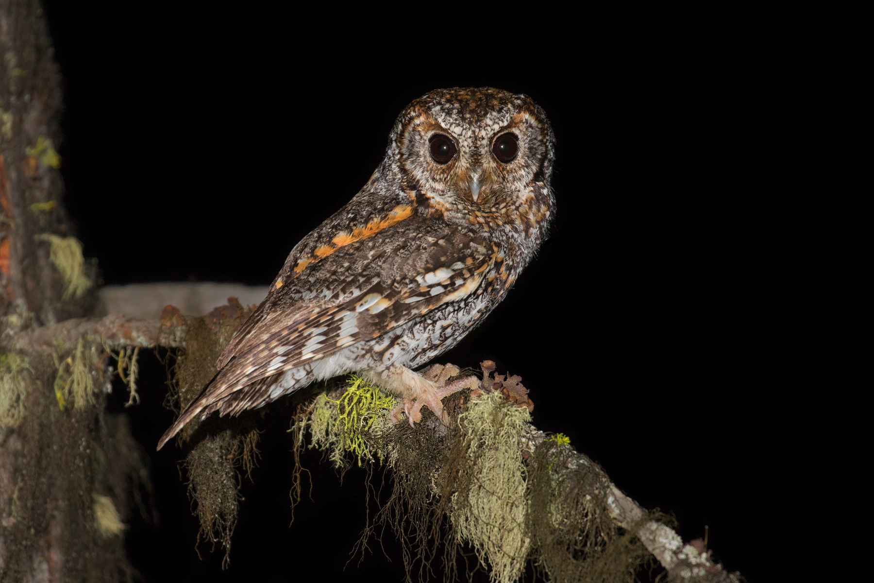 Flammulated Owl, Nicola Region