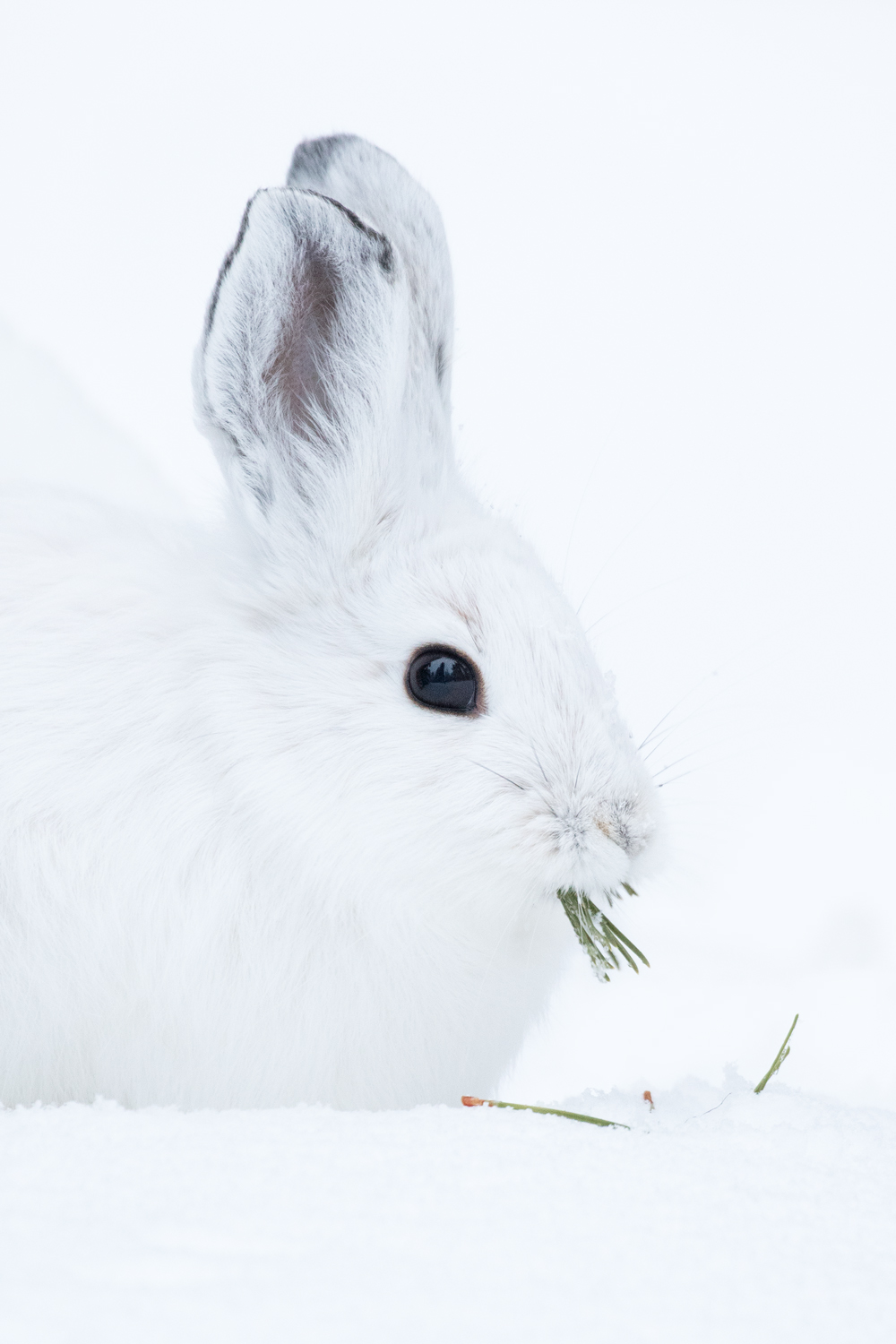 Snowshoe Hare, Cascade Mountains, British Columbia