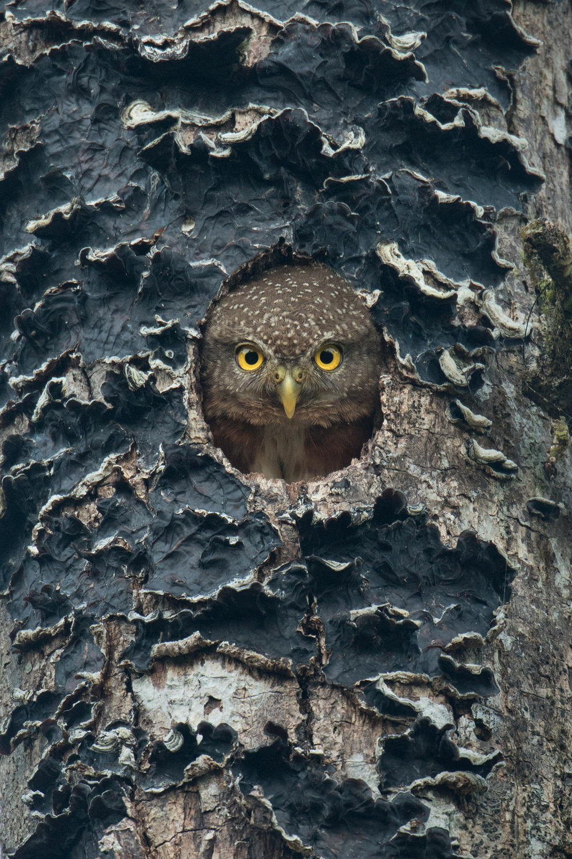Central American Pygmy-Owl, Costa Rica