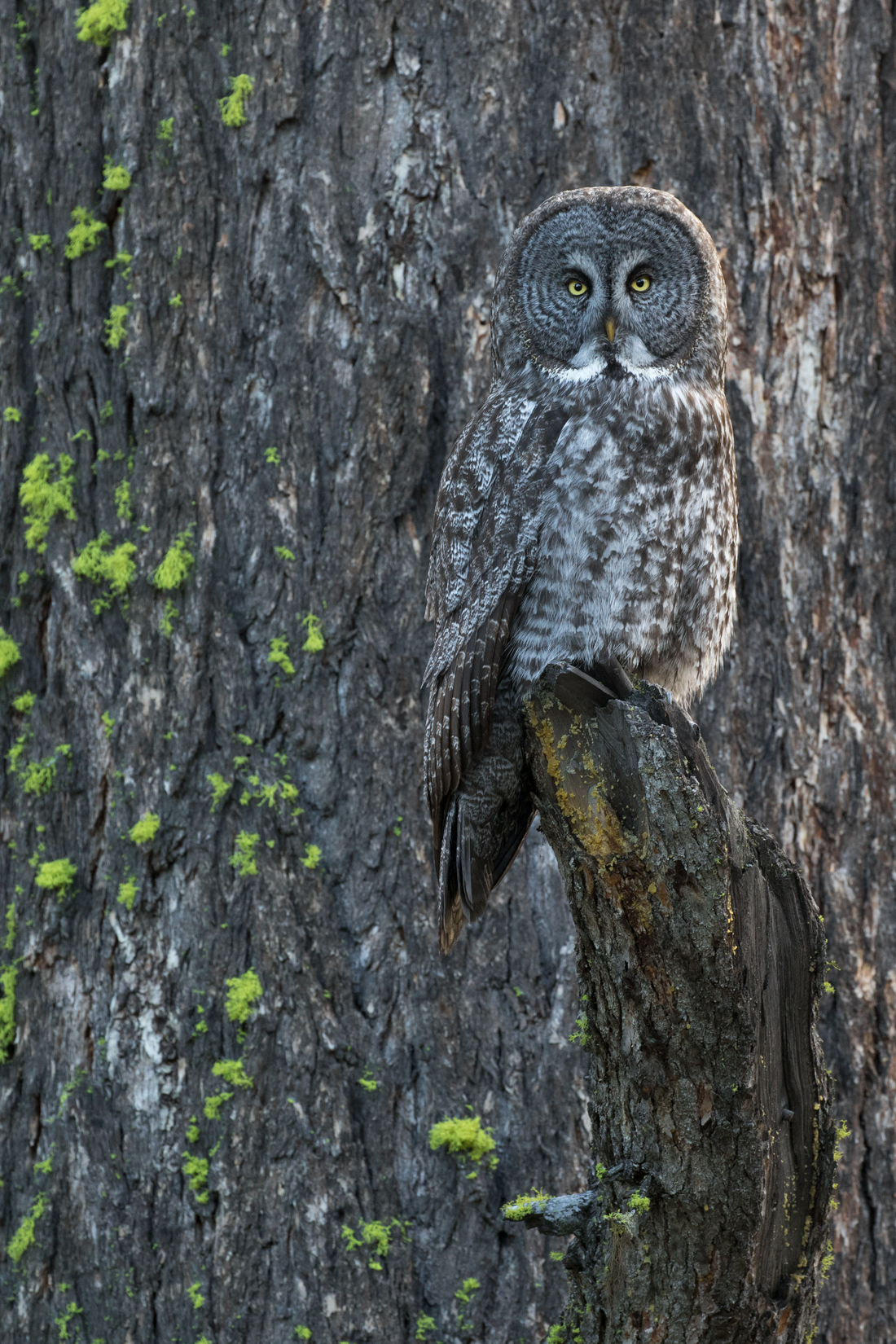 Exhibiting amazing camouflage, a male perches against the trunk of an old growth Douglas fir, preparing to begin his evening hunt.