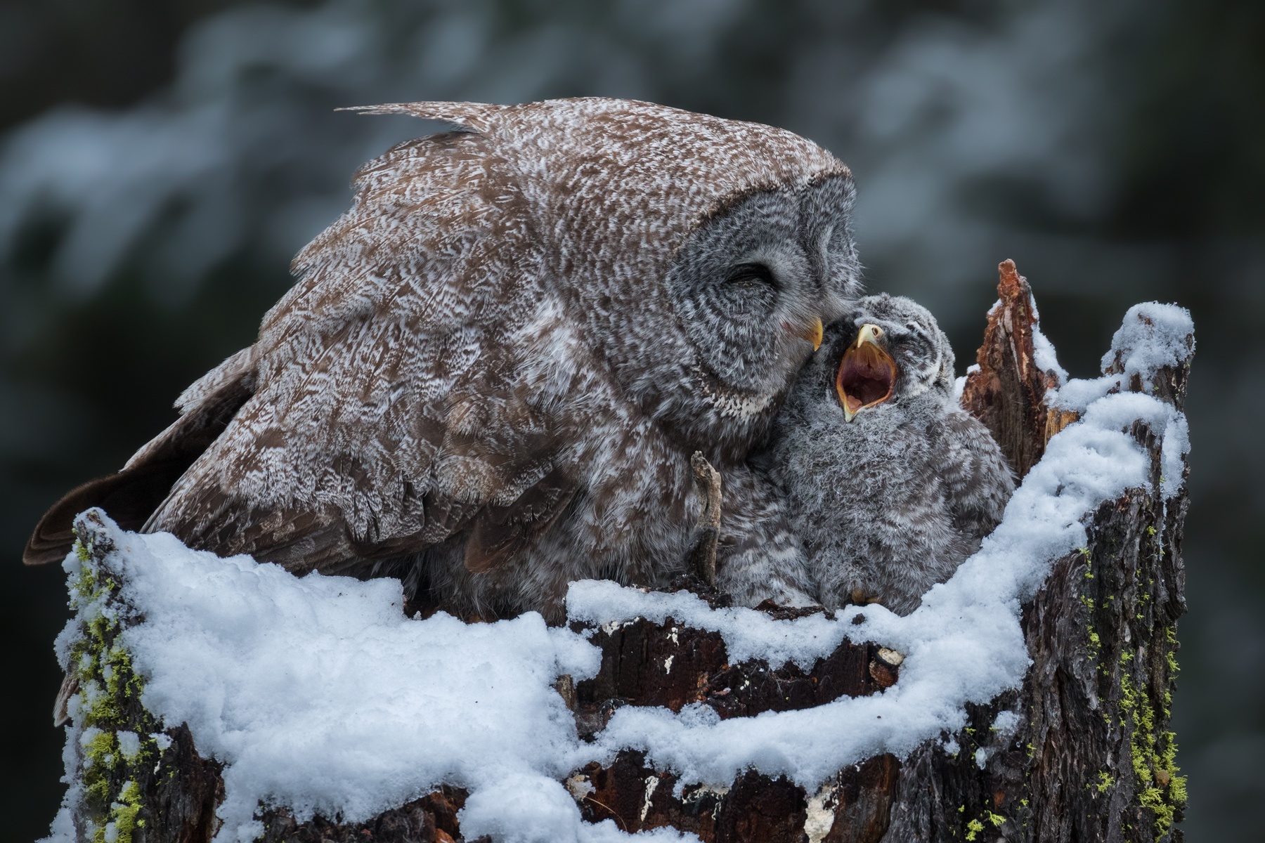 After a cold spring night brought a substantial snowfall to the mountains of British Columbia's Southern Interior, a mother comforts one of her three waking chicks.