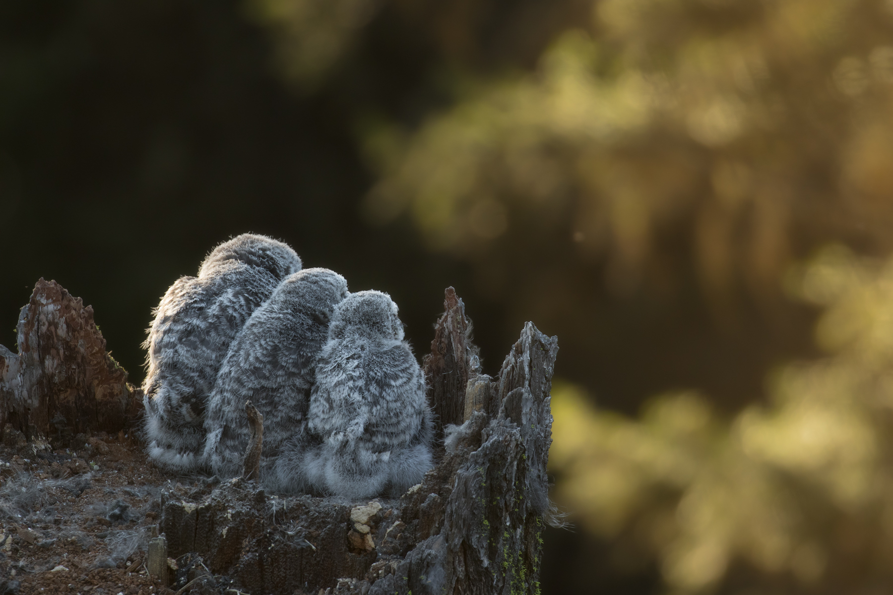 A trio of nestlings peer out from their home atop a Douglas fir snag; patiently awaiting the return of their mother.