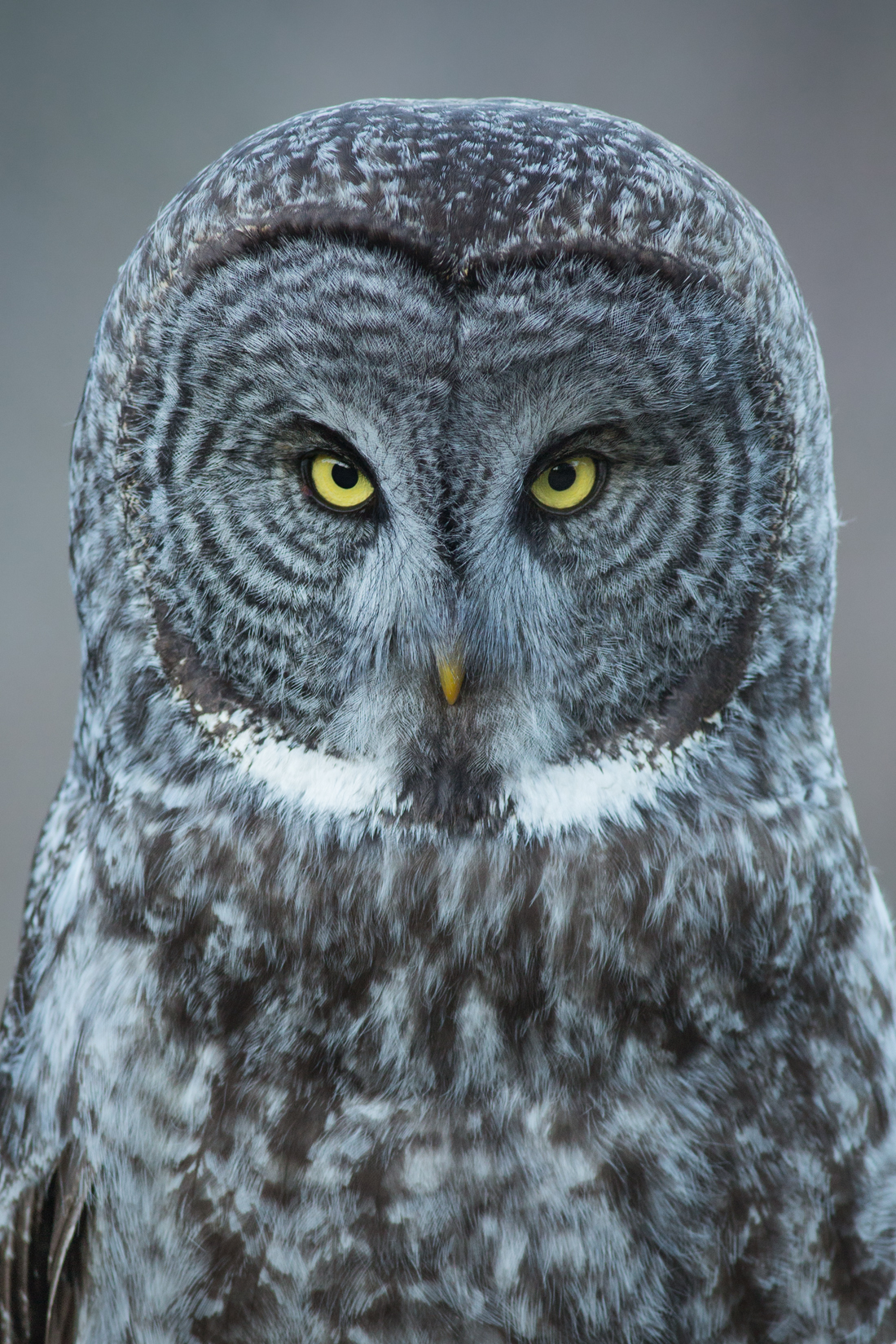 The stare of a Great Grey Owl is something one won't soon forget. This individual, born the previous spring, was photographed along British Columbia's South Coast.