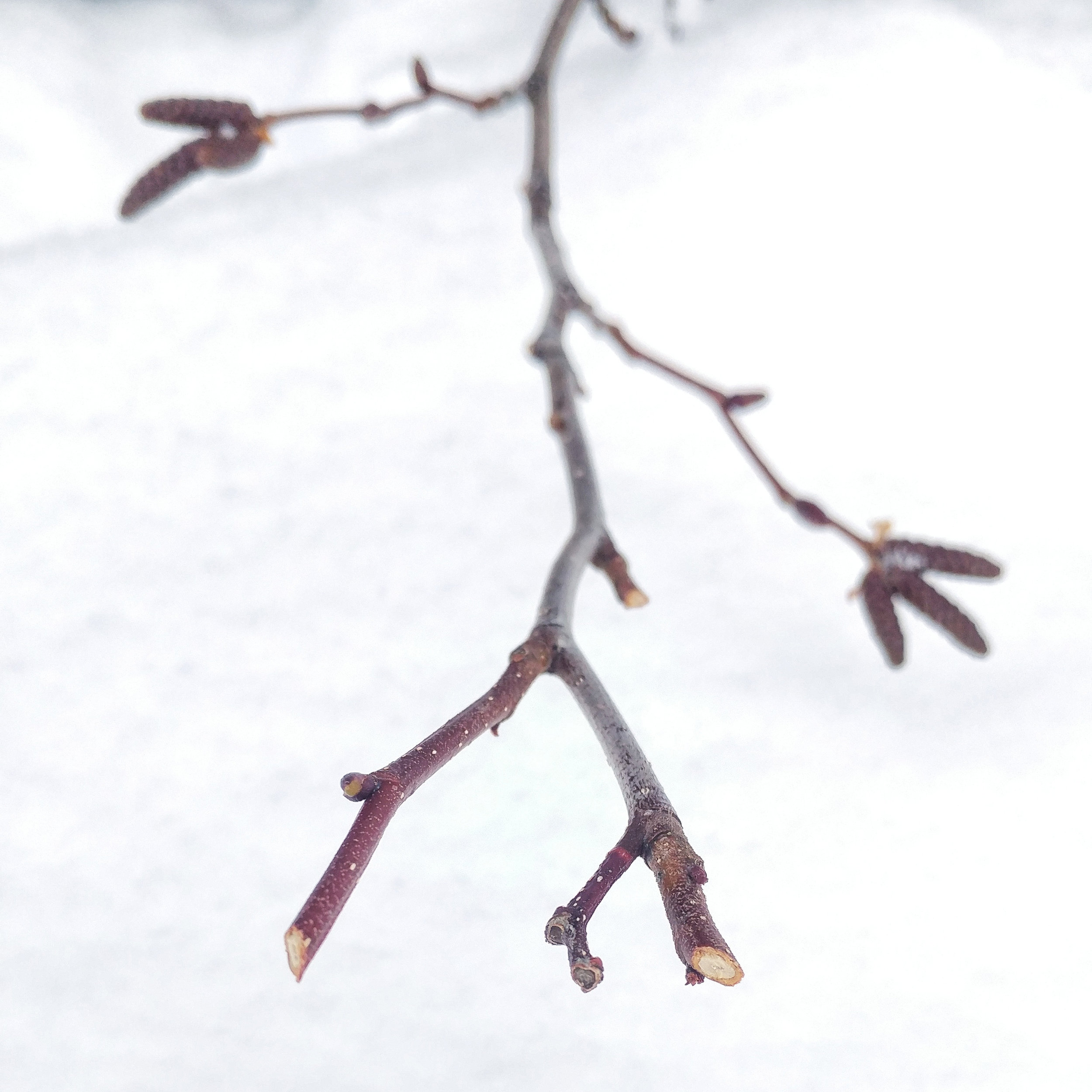 Alder shrubs browsed by a Snowshoe Hare, showing the characteristic 45 degree bite marks.