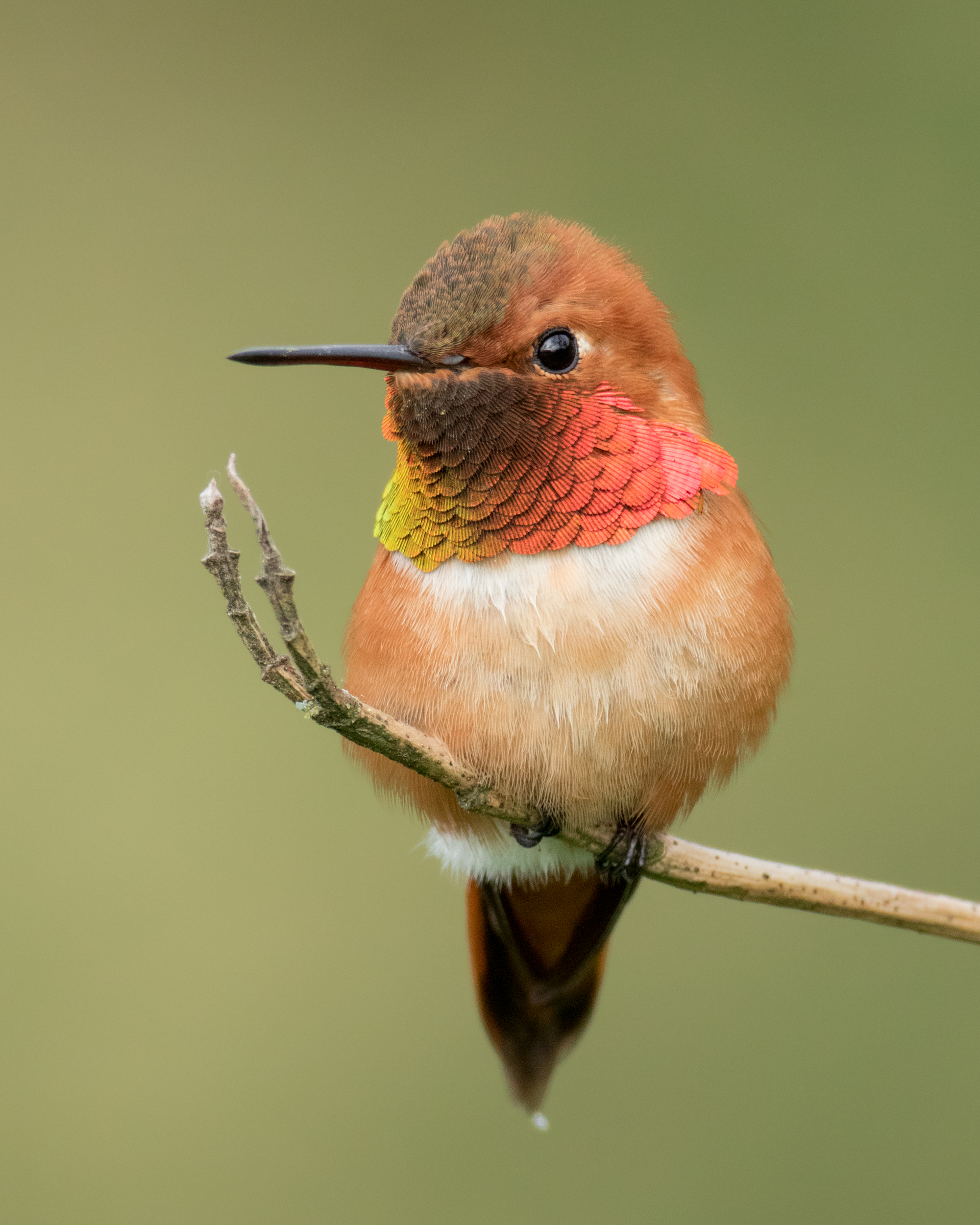 A large patch of blooming salmonberry shrubs led me to this territorial male Rufous Hummingbird.