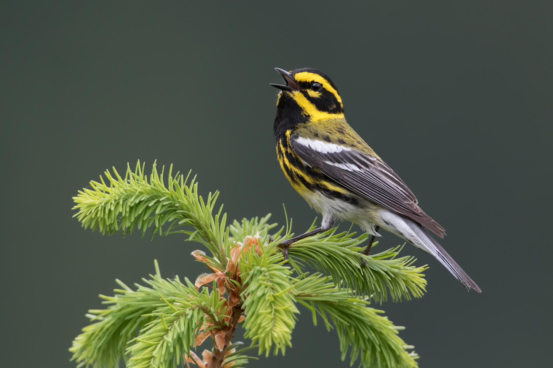 Having found a tall rocky outcropping surrounded by conifers while hiking during the winter, I made a note to return the following May. My hope was that the cliffs would allow for eye-level views of Townsend's Warbler: one of the most beautiful birds found here in the Pacific Northwest, who spend the majority of their time high in the canopy. Upon returning to the site during the breeding season, several males were staking their claim on territories.
