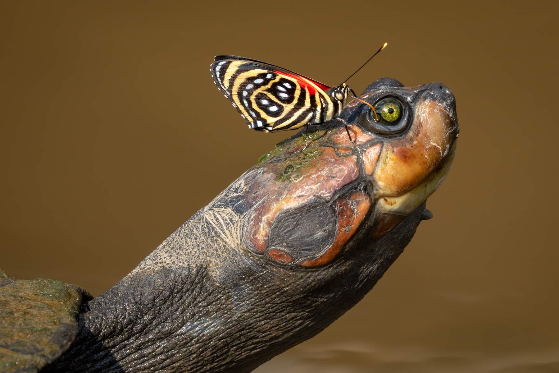 Turtle & Butterfly, Amazon Rainforest, Ecuador