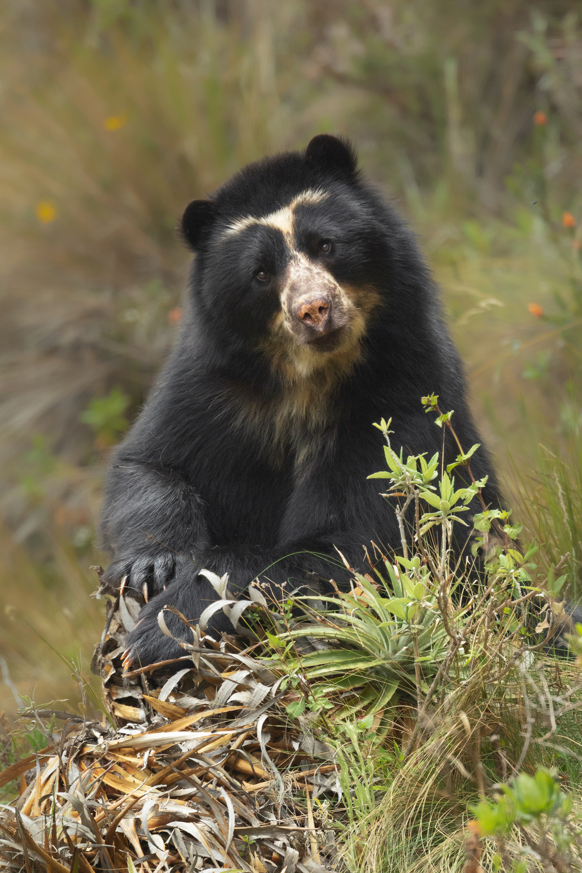 Spectacled Bear, Andes, Ecuador