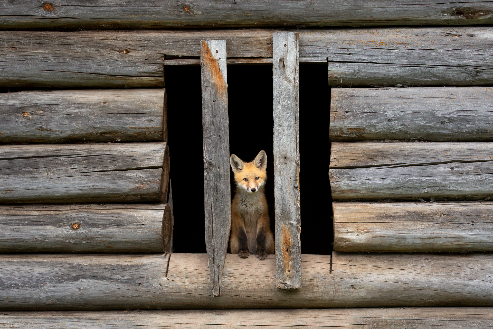 Red Fox pup, British Columbia, Canada