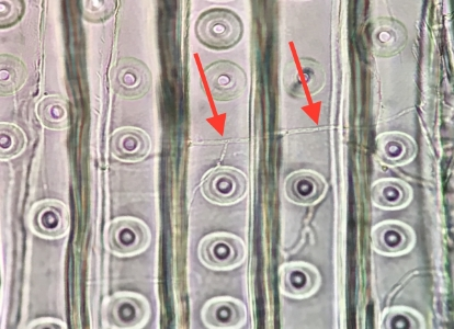 This set of two images are actual photomicrographs taken at Wood Science Consulting showing wood decay hyphae in wood cells similar to the sketch above.