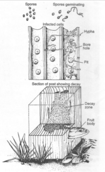 A simplified demonstration of the wood decay cycle    (Figure 14-3 from the USDA Forest Products Laboratory General Technical Report FPL-GTR-190.)