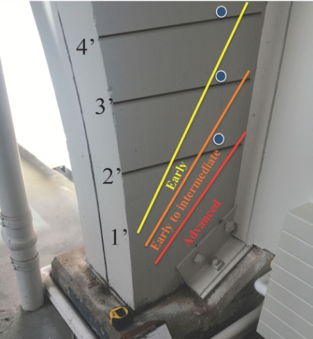 Photo 1 - Glulam arch with advanced decay in the bottom 1' which was detected by the Resistograph and displayed on the charts. The blue dots represent the three locations where increment cores were extracted. Consistent relative density profiles were collected with the Resistograph at 2' and 3', however, the increment core collected at the 2' exhibited a distinct network of early wood decay to the center of the arch (see photo 2). At the 3' height incipient levels were observed, but were limited in depth. No wood decay was observed in the core collected at the 4' height.