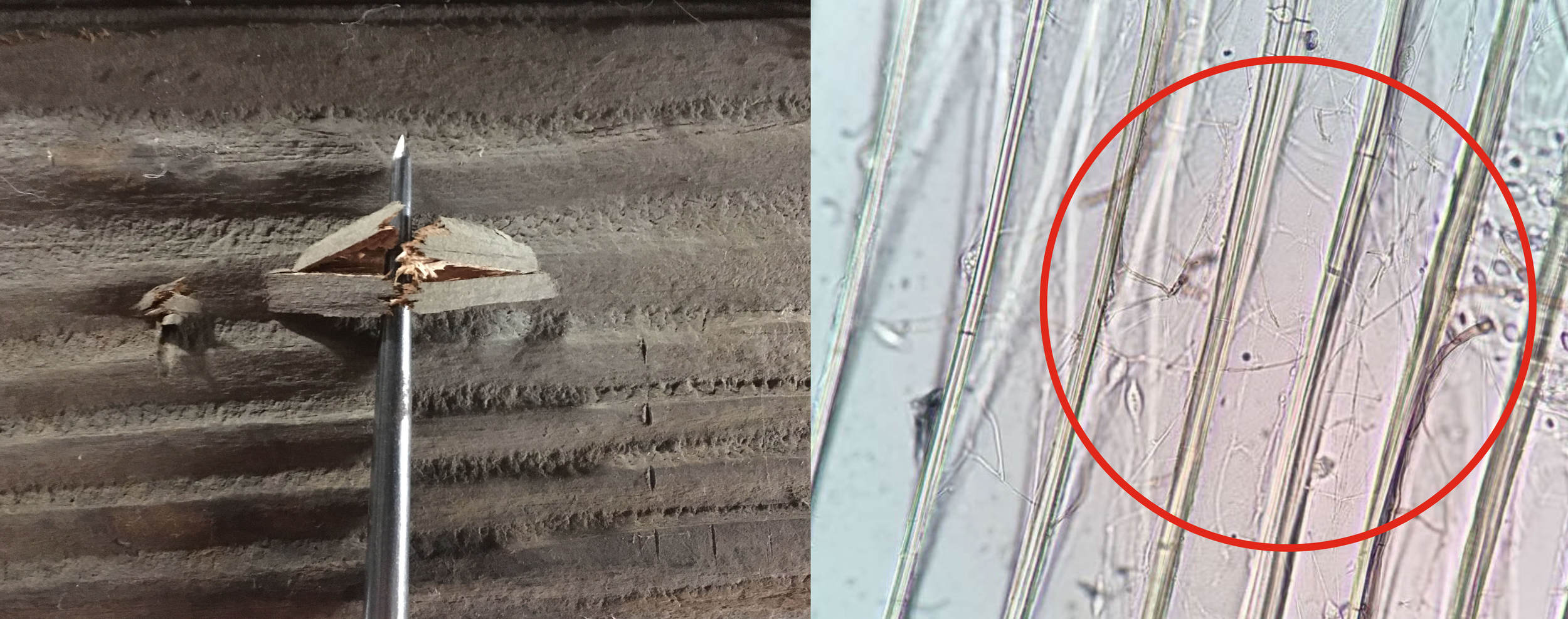 Photo 2 - The image on the left shows a short splinter with a brash failure resulting from a pick test. The image on the right is a photomicrograph illustrating a network of root-like wood decay hyphae in several wood cells. This verified the presence of incipient wood decay in the wood element shown on the left.