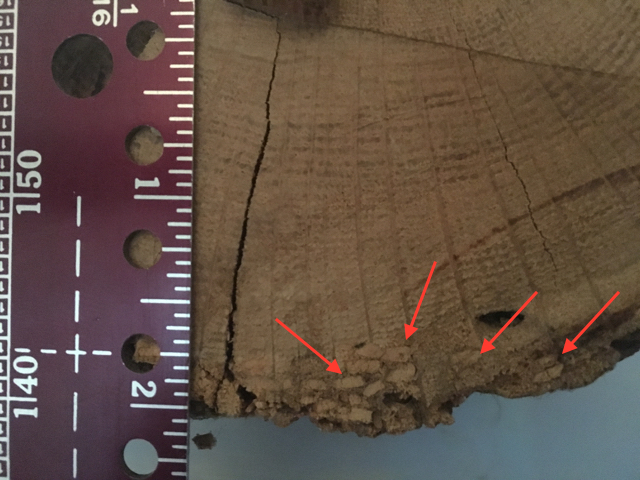 """Photo 2 - Here are the powder packed holes caused by the beetles as they mature prior to laying eggs and then exiting the timber as an adult. As you can see the damage is limited to the outer 1/4"""" of the timber."""