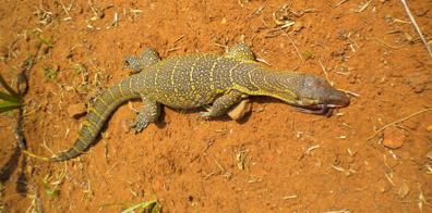 Monitor Lizards of Pakwach