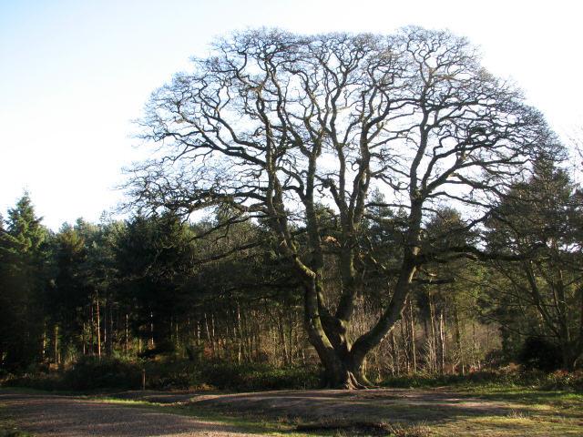 Sessile oak tree at Bacton Woods