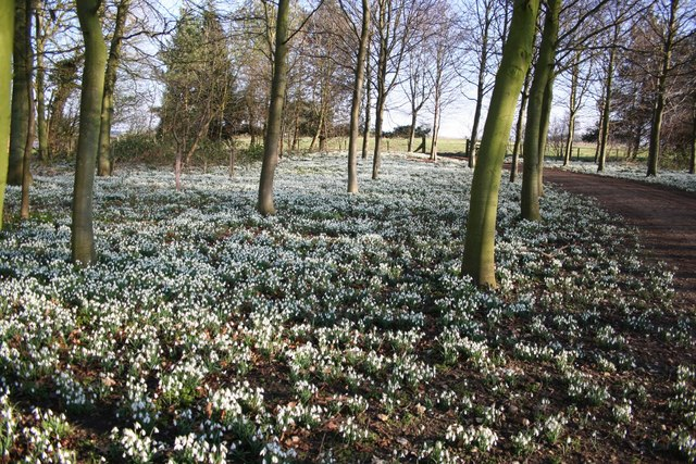 Snowdrops at Scrivelby, Lincolnshire