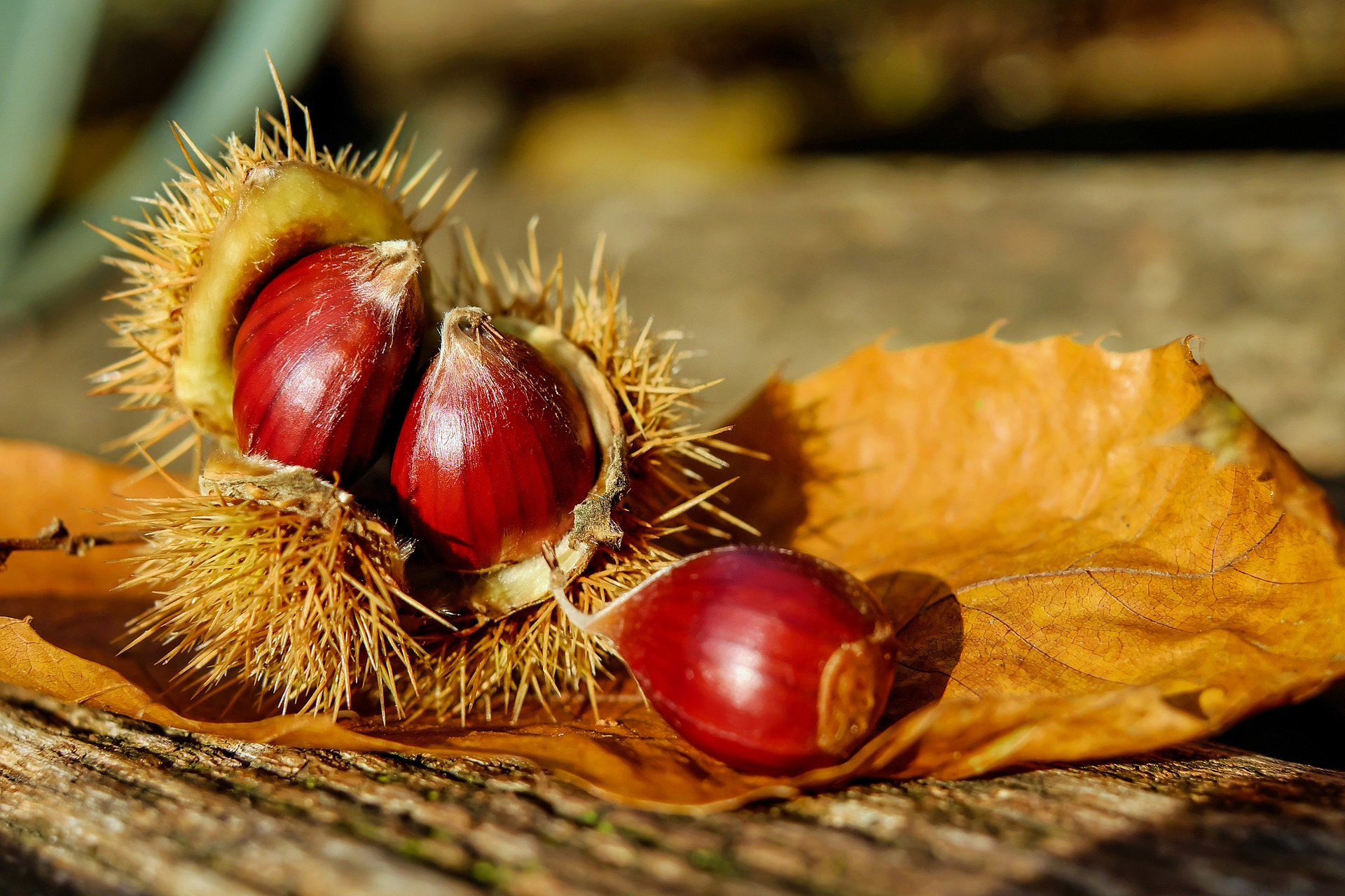collecting chestnuts