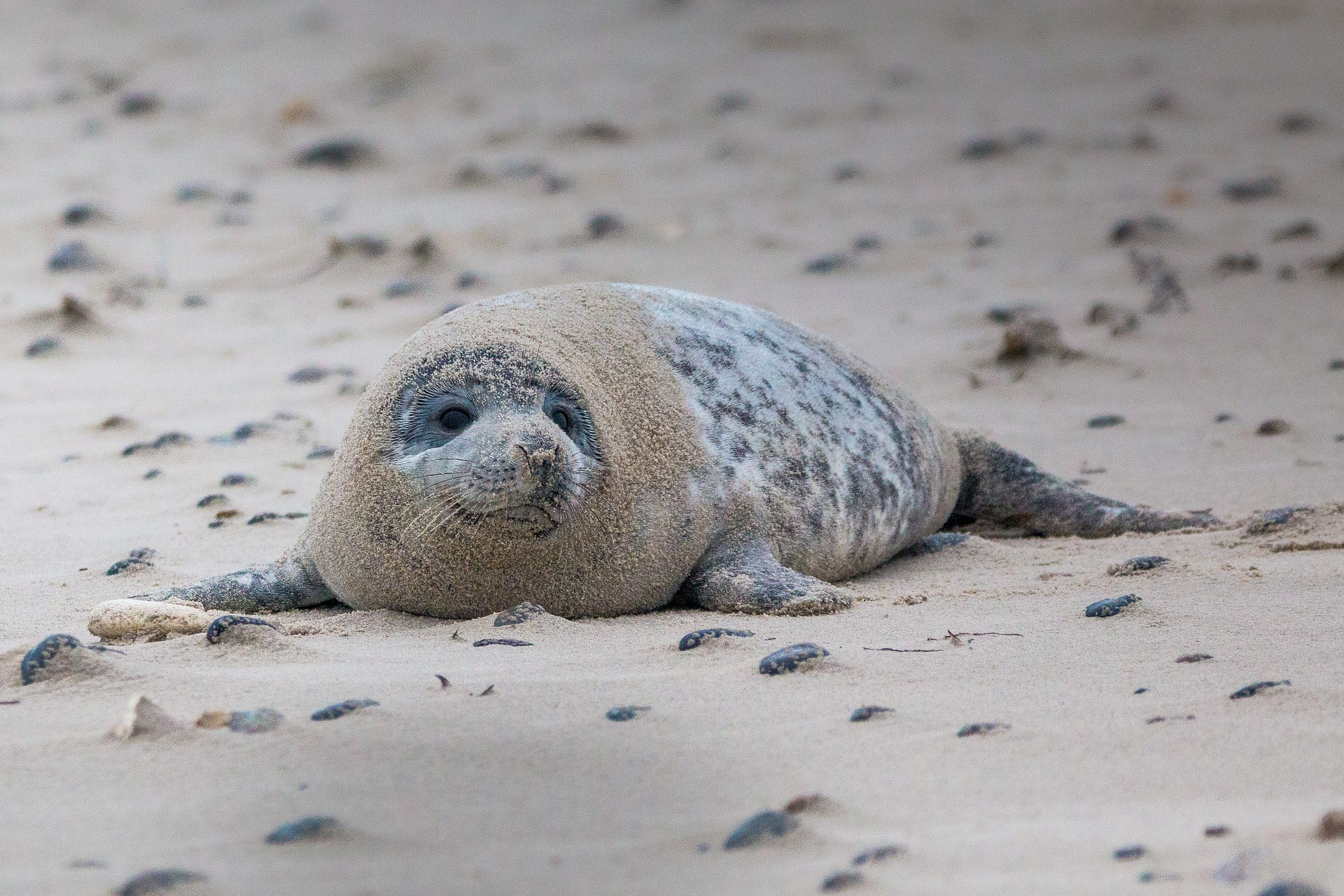 grey seal on the Norfolk coast.