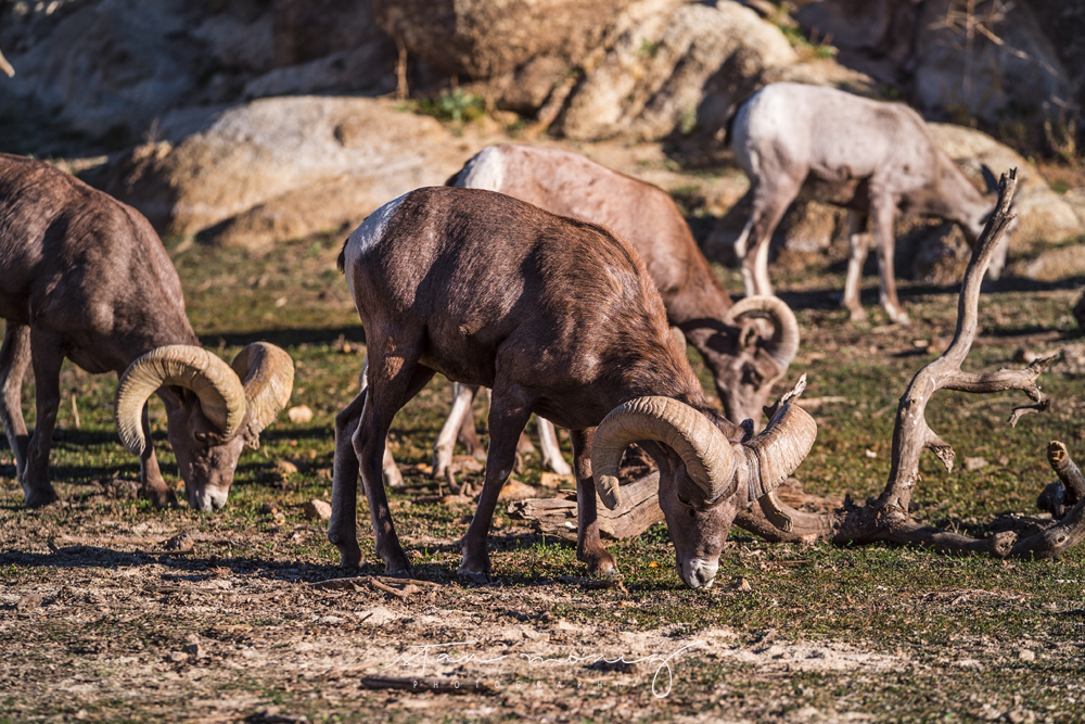 LONG-HORN-SHEEP-JOSHUA-TREE-8-STAN-MONIZ-PHOTOGRAPHY.jpg
