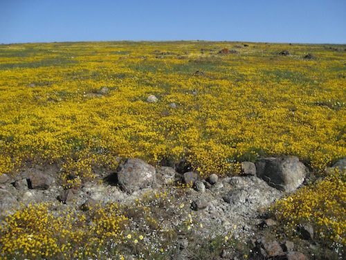 Picture 2.  Bay checkerspot butterfly habitat